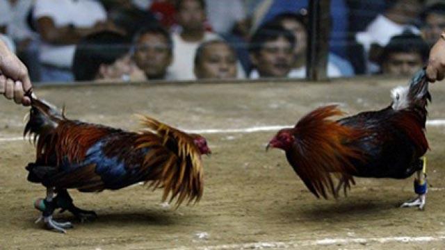 Menang Main Taruhan Judi Ayam dengan Cara Termudah