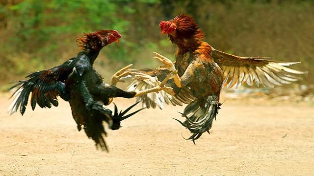 Judi Sabung Ayam Online S128 Pasaran Indonesia