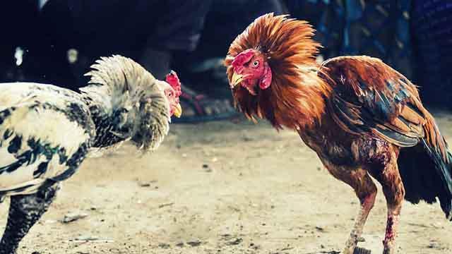 Sabung Ayam Deposit Bank Bri