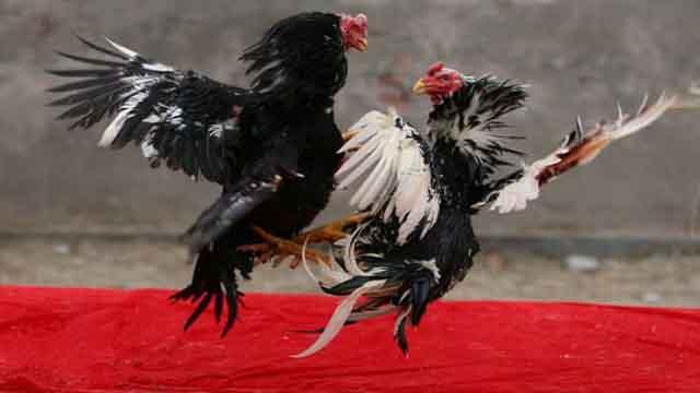 Cara Mengalahkan Bandar Sabung Ayam Online