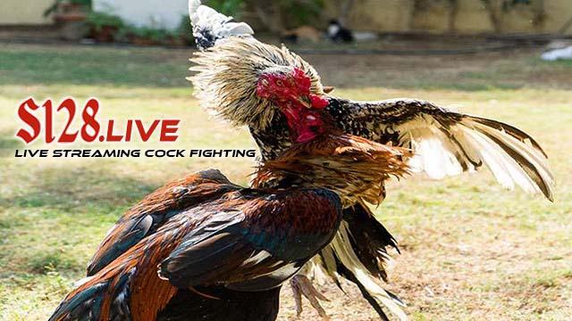 Cara Melatih Sabung Ayam Sebelum Dipertarungkan